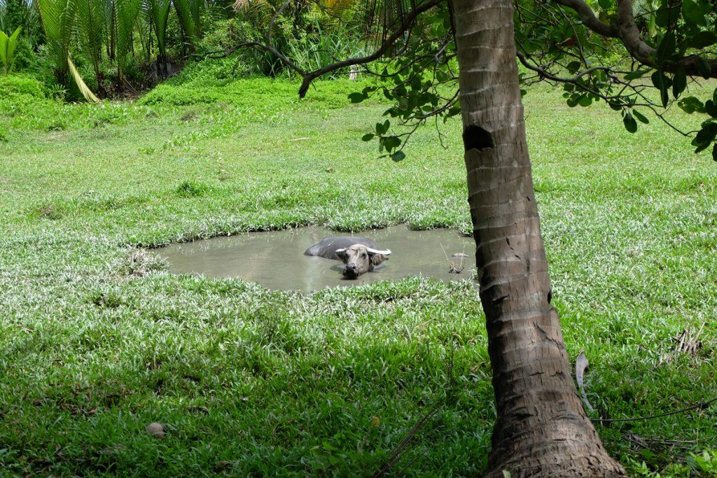 Wasserbüffel beim Baden