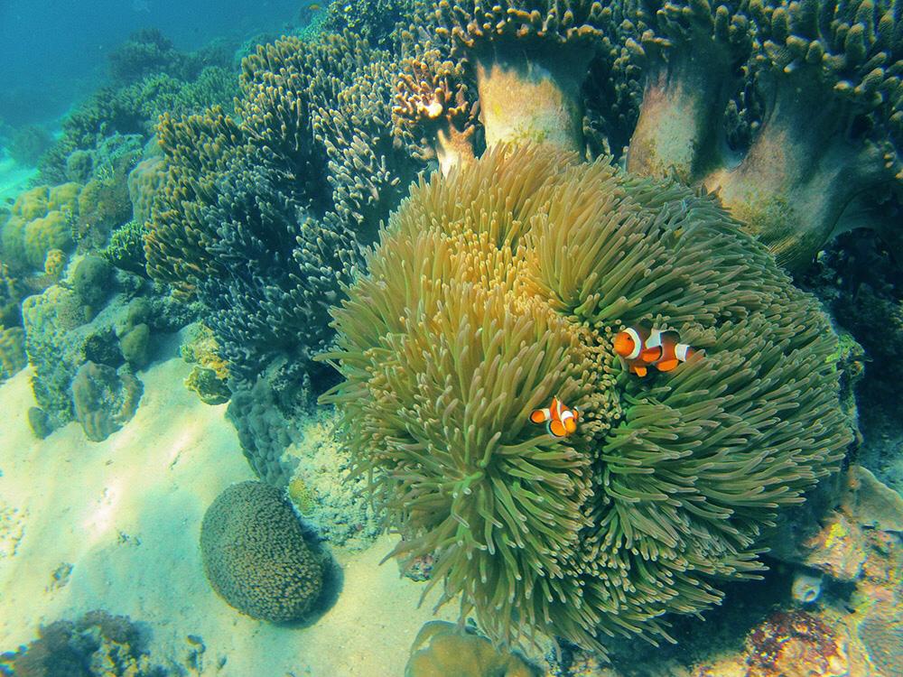 Clownfische und Korallen