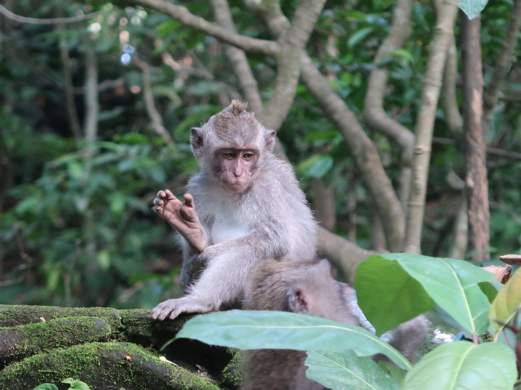 Affe im Monkey Forest Ubud