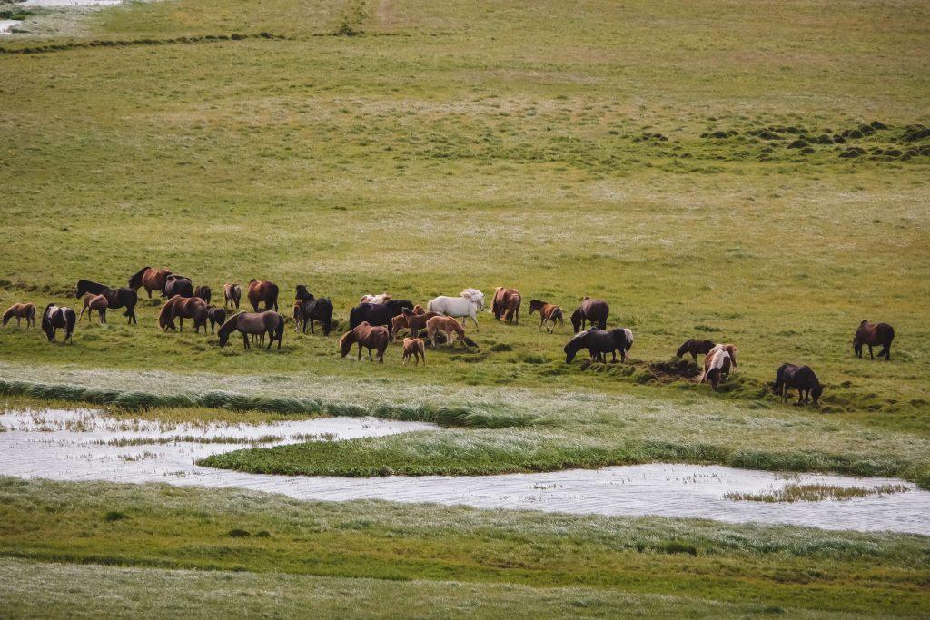 Islandpferde auf einer Weide
