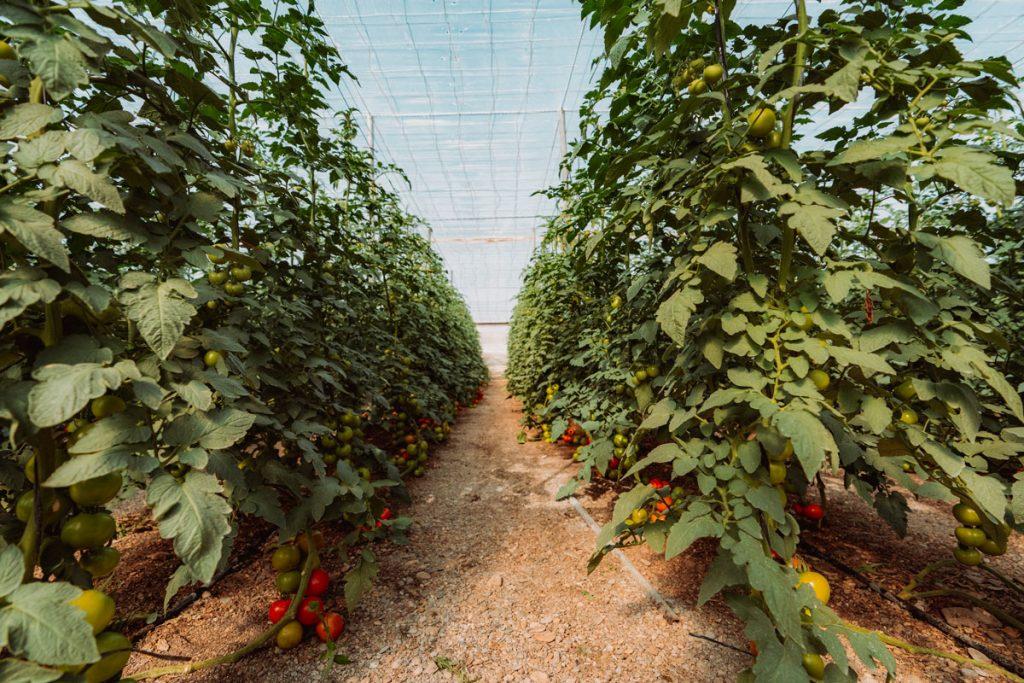 Tomaten-Anbau in einem südeuropäischen Solar-Gewächshaus